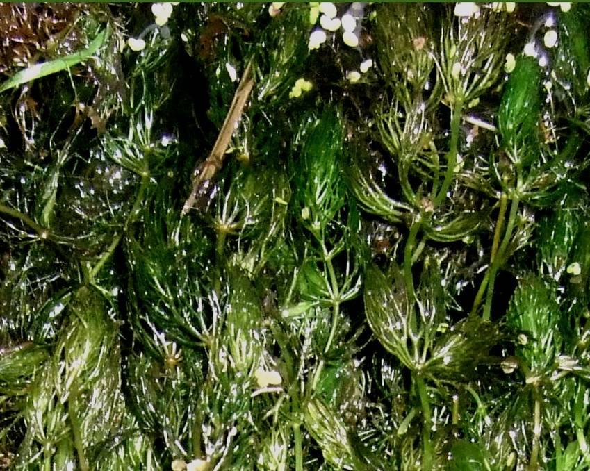 75 pflanzen hornkraut gegen algen und nitrate teich ebay. Black Bedroom Furniture Sets. Home Design Ideas