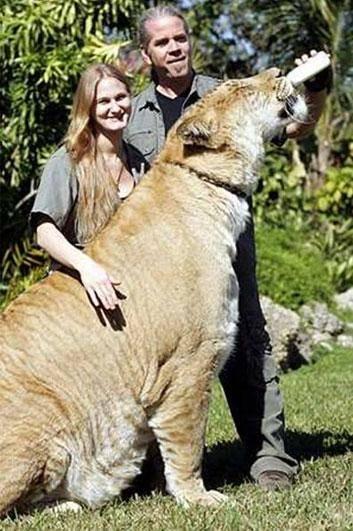 Lygrys - największy kot świata 11