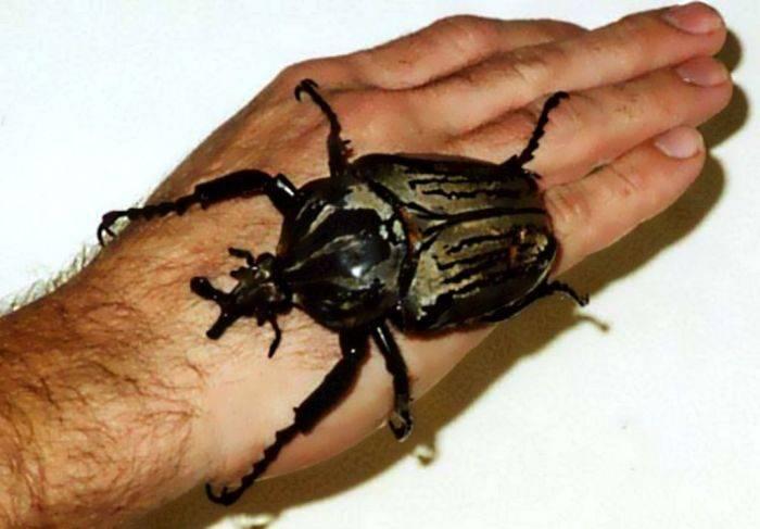 Największe owady 5
