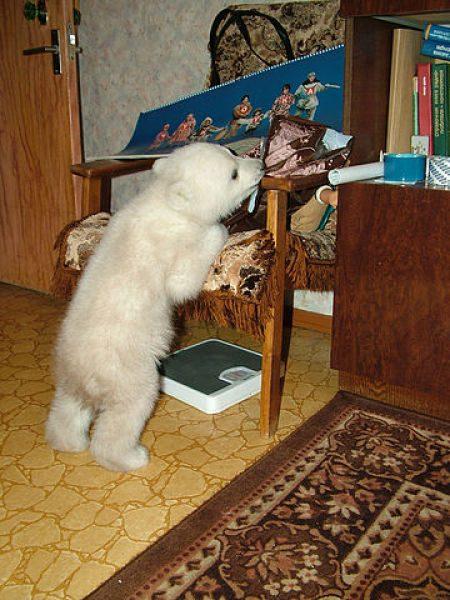 Uratowany niedźwiadek polarny 14