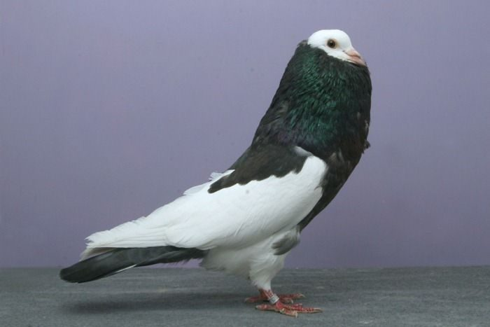 Nieco inne gołębie 12