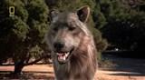 Скачать с letitbit  N. G. Доисторические хищники. Древний страшный серый волк (2007) HDTVRip