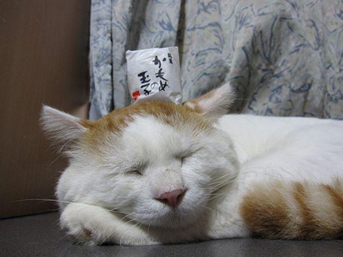 Shironeko - leniwy kot 10